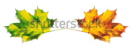 Two yellowed autumn maple leafs Stock photo © BSANI