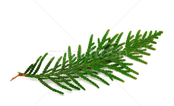 Twig of thuja on white background Stock photo © BSANI