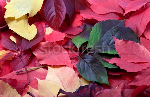 осень Виргиния листьев фон оранжевый зеленый Сток-фото © BSANI