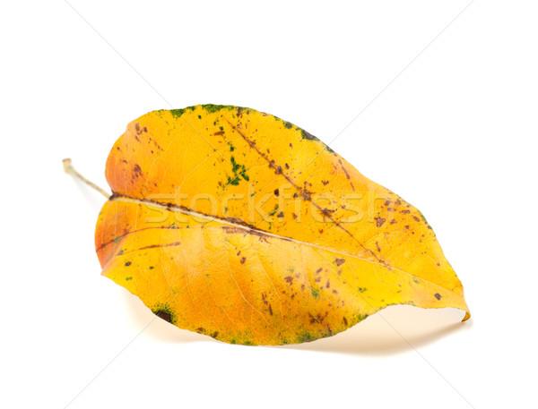 Yellowed autumn leaf on white background Stock photo © BSANI
