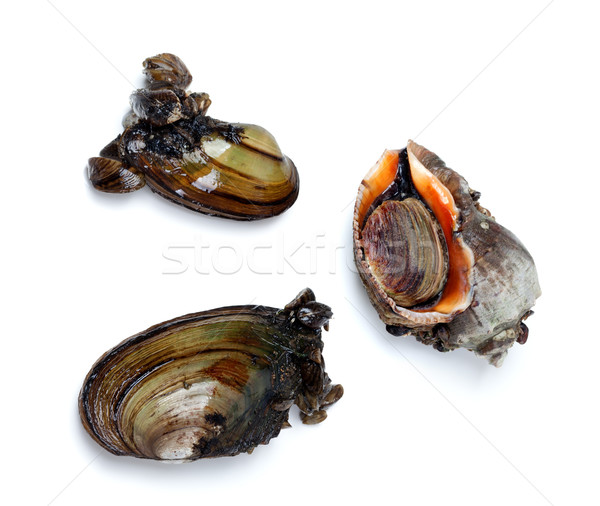 Two river mussels (Anodonta) and veined rapa whelk Stock photo © BSANI