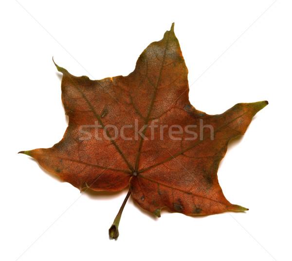 коричневый осень Maple Leaf изолированный белый природы Сток-фото © BSANI