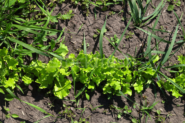 Green salad lettuce growing in garden Stock photo © BSANI