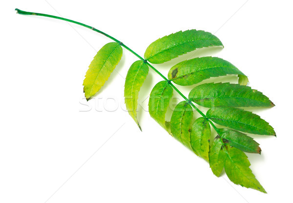 Leaf of rowan isolated on white background Stock photo © BSANI