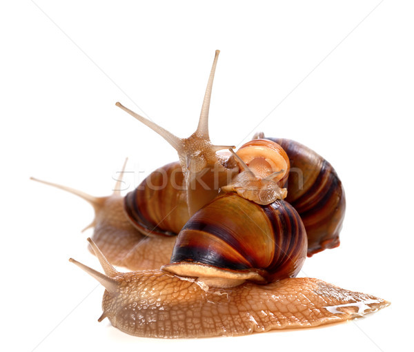 Family of snails on top of one another Stock photo © BSANI