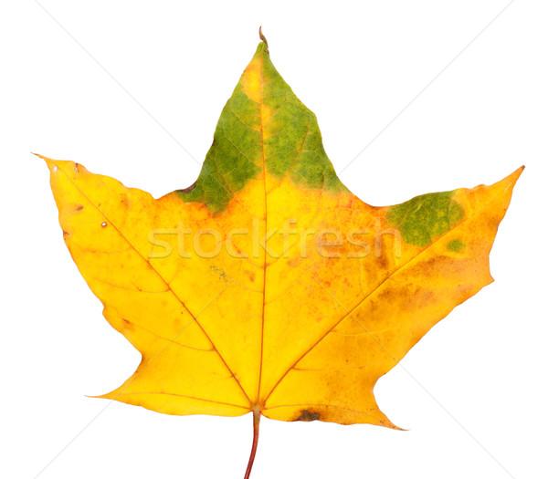秋 カエデの葉 孤立した 白 自然 背景 ストックフォト © BSANI