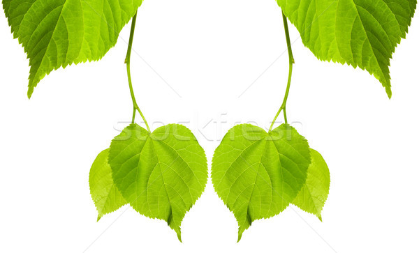 Frame of young spring tilia leaves Stock photo © BSANI