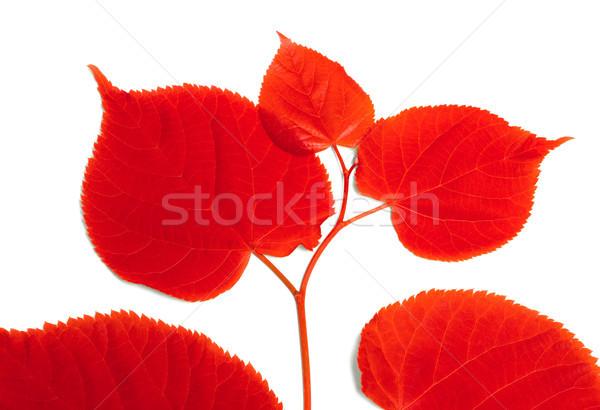 Rojo aislado blanco forestales sol hoja Foto stock © BSANI