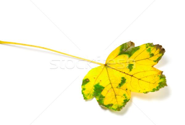 Yellowed leaf  Stock photo © BSANI