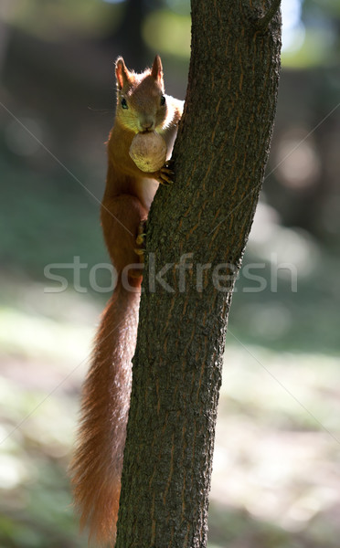 Red squirrel on tree with walnut in mouth Stock photo © BSANI