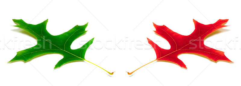 Green and red leafs of oak Stock photo © BSANI