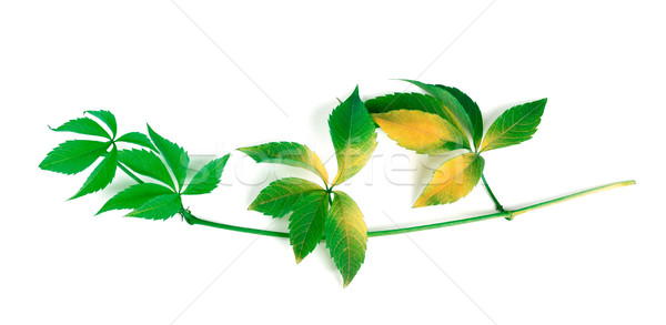 Yellowed branch of grapes leaves (Parthenocissus quinquefolia fo Stock photo © BSANI