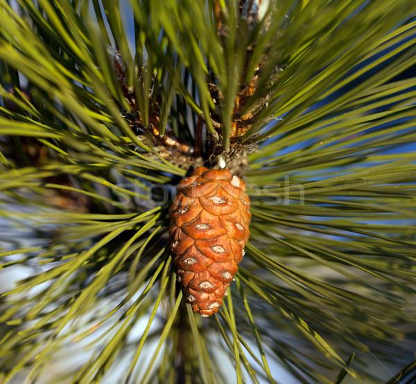 Pine cone Stock photo © BSANI
