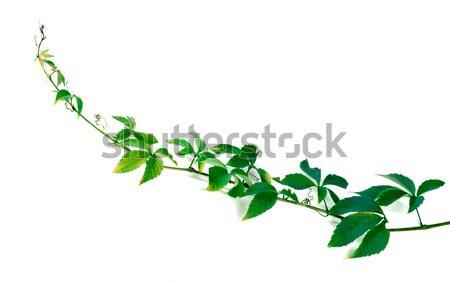 зеленый веточка виноград листьев листва изолированный Сток-фото © BSANI