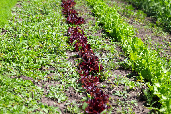 Rows of young green and red salad lettuce growing in field Stock photo © BSANI