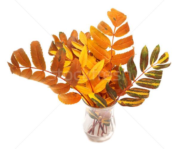 Multicolor autumn rowan leafs Stock photo © BSANI