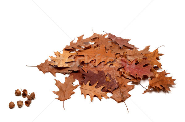 Autumnal dried leafs of oak and acorns Stock photo © BSANI