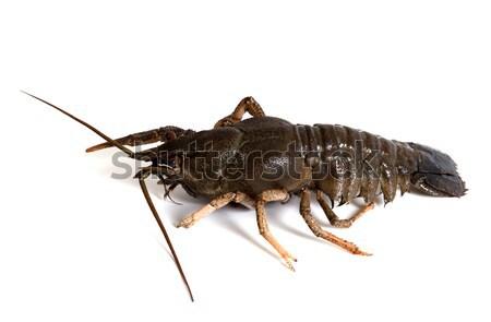 Crawfish on white background Stock photo © BSANI