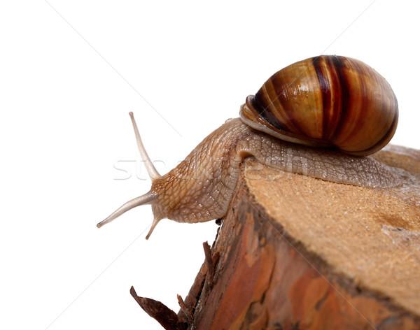 Snail crawling on pine-tree stump Stock photo © BSANI