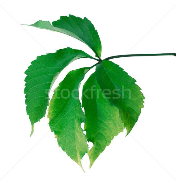 Groen blad Virginia blad geïsoleerd witte voorjaar Stockfoto © BSANI