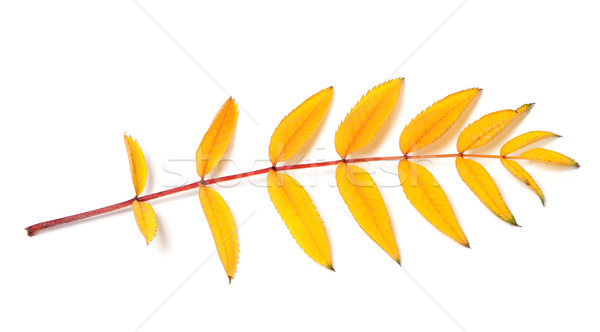 Yellow autumn rowan leaf Stock photo © BSANI