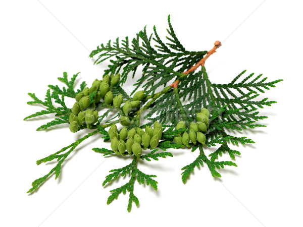 Green twig of thuja with cones on white background Stock photo © BSANI