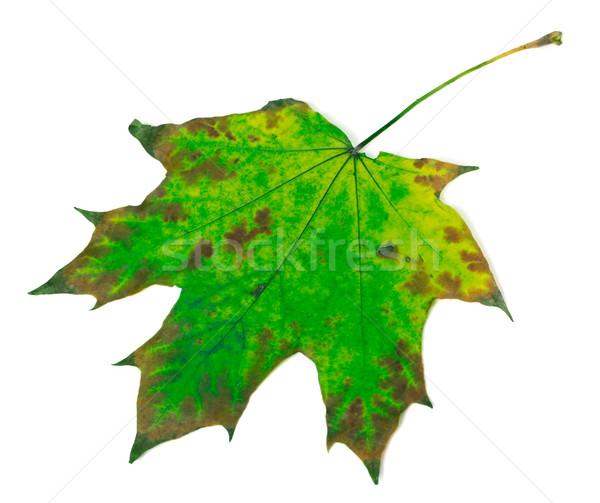 Multicolor maple leaf Stock photo © BSANI