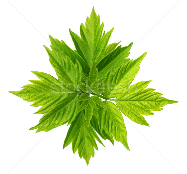 Spring leaves of maple ash (acer negundo) with young leaves Stock photo © BSANI