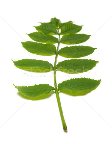 зеленый листьев изолированный белый избирательный подход весны Сток-фото © BSANI