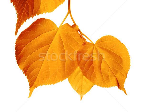 Autumnal sunlight leafs  Stock photo © BSANI