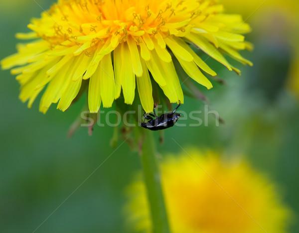 Bogár virág pitypang erdő zöld növény Stock fotó © BSANI