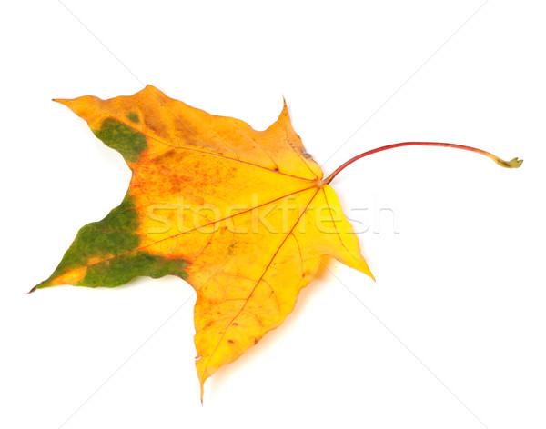 осень Maple Leaf изолированный белый дерево лес Сток-фото © BSANI