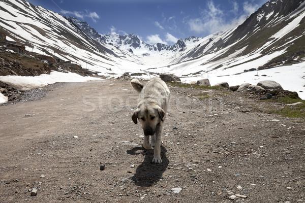 Kutya földút tavasz hegyek Törökország ház Stock fotó © BSANI