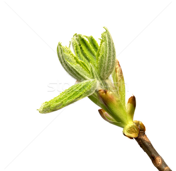 Spring twig of horse chestnut tree with young green buds Stock photo © BSANI