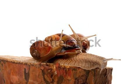 Family of snails on pine tree stump Stock photo © BSANI