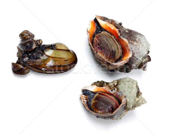 Two veined rapa whelk and river mussel (anodonta) Stock photo © BSANI