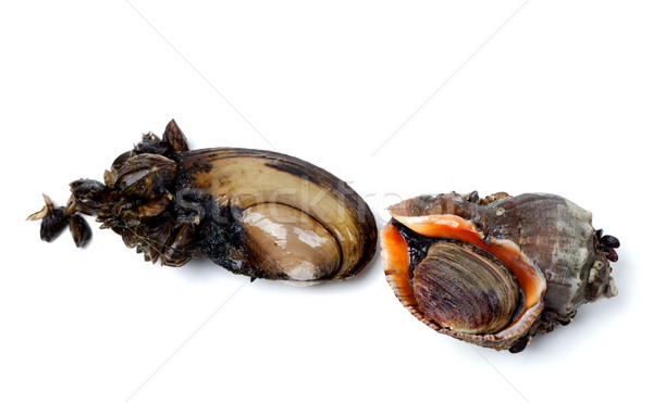 River mussels (Anodonta) and veined rapa whelk Stock photo © BSANI