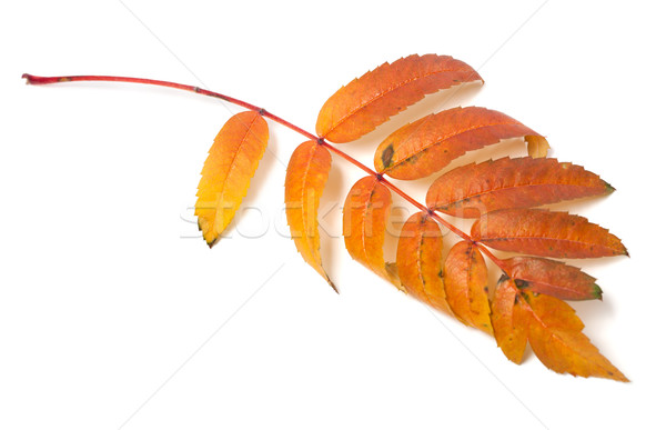 Autumn leaf of rowan isolated on white background Stock photo © BSANI