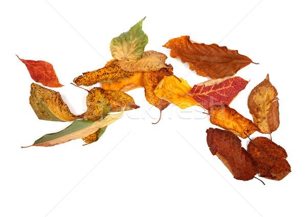 осень высушите изолированный белый копия пространства дерево Сток-фото © BSANI
