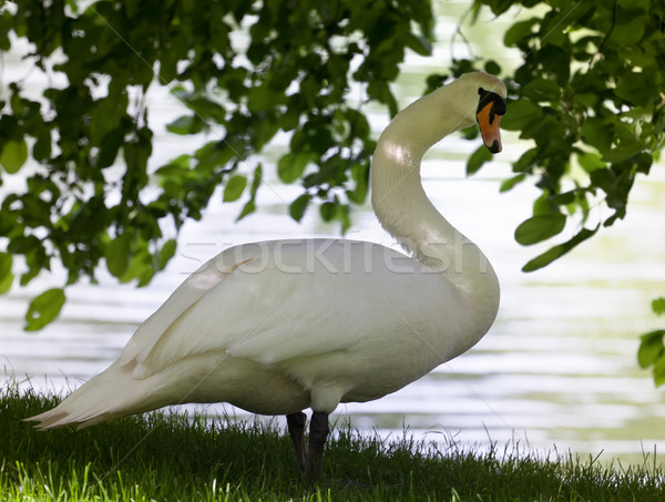 Mute swan on glade under the tree. Stock photo © BSANI