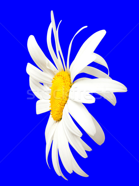 White chamomile on blue. Close-up view Stock photo © BSANI