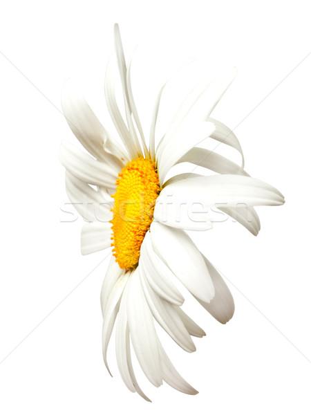Rumianek widoku odizolowany biały kwiat Zdjęcia stock © BSANI