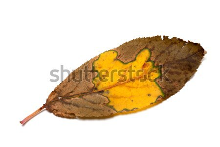 Multicolor dried autumn leaf Stock photo © BSANI