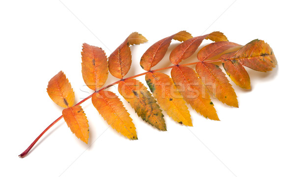 Autumn rowan leaf Stock photo © BSANI