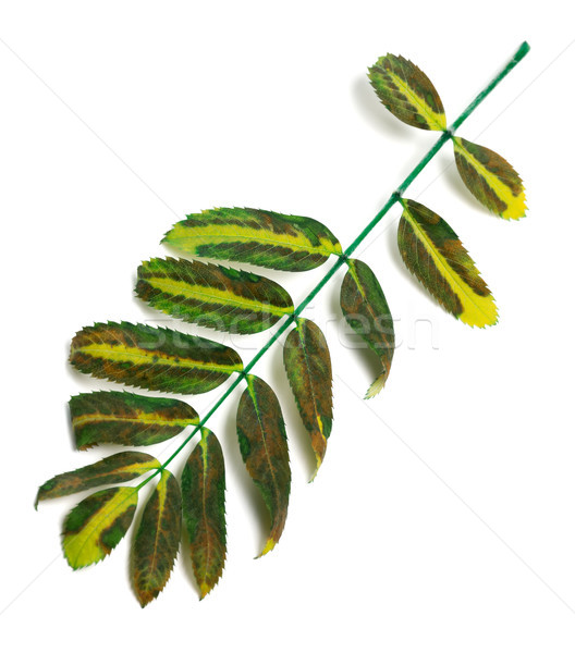 Multicolor rowan leaves Stock photo © BSANI