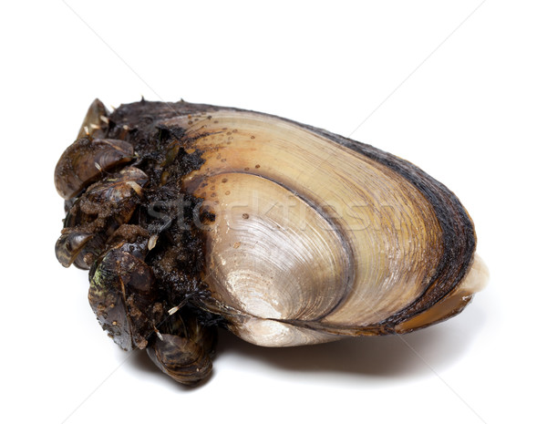 Stock photo: Anodonta (river mussels) overgrown with small mussels