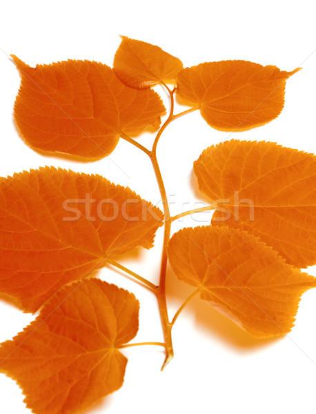 Autumnal sprig of linden Stock photo © BSANI
