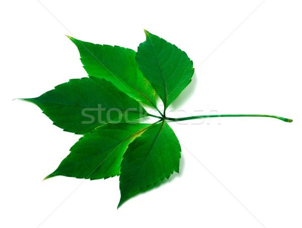 Zielone Virginia pozostawia biały wiosną charakter Zdjęcia stock © BSANI
