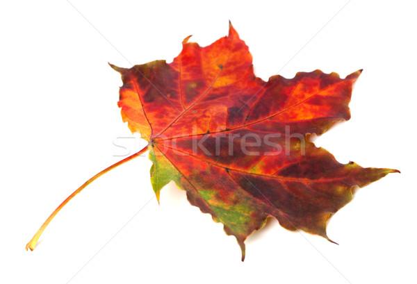 Multicolor autumn maple leaf on white background Stock photo © BSANI
