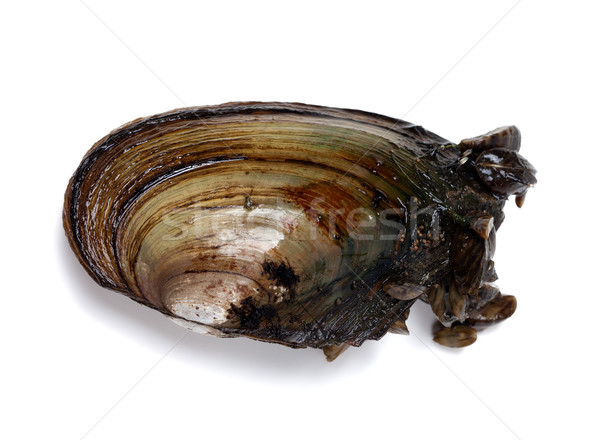 River mussel (Anodonta) with small mussels Stock photo © BSANI